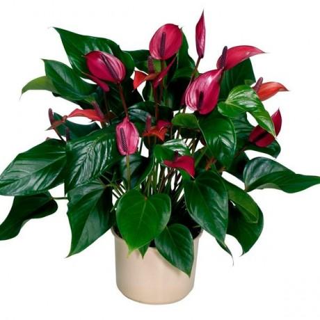 Домашние цветы антуриум в домашних условиях
